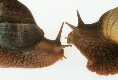 Close up of two bushveld land snails shot in a studio setting shell,exoskeleton,Macro,macrophotography,Close up,White background,Bushveld land snail,Achatina immaculata