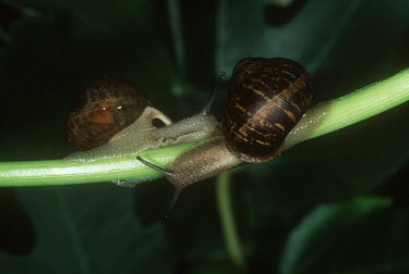 Pair of garden snails on branch, shot in a studio setting Garden snail,Cantareus aspersus.,Gastropoda,Gastropods,Mollusca,Mollusks,Sand-dune,Animalia,Herbivorous,Asia,Common,Stylommatophora,North America,Forest,Agricultural,Africa,Terrestrial,Helix,Urban,Hel