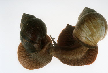 Pair of bushveld land snails shot in a studio setting, dorsal view White background,shell,Close up,Macro,macrophotography,exoskeleton,Bushveld land snail,Achatina immaculata