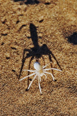 White lady spider on sand, front view - Namib Desert, Namibia White Lady Spider,Leucorchestris arenicola