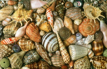 Selection of shells of marine snails, an illustration of biodiversity - African coasts coast,Coastal,coast line,coastline,saltwater,Marine,saline,exoskeleton,markings,marking,Macro,macrophotography,Aquatic,water,water body,shell,coloration,Colouration,Close up,patterns,patterned,Pattern