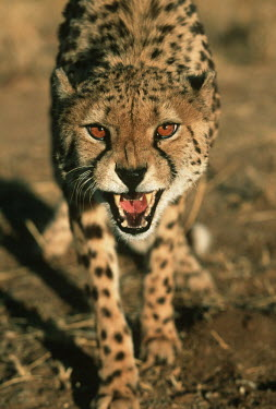 Cheetah snarling - Africa negative,sad,snarl,Growl,snarling,growling,Carnivorous,Carnivore,carnivores,communication,Communicating,Portrait,face picture,face shot,Angry,anger,angered,guarded,guard,danger,Defensive,defense,prote
