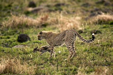 Sub-adult cheetah cub practises killing young Thompson's gazelle - Kenya, Africa Terrestrial,ground,teenager,Sub-adult,teenage,pubescent,patterns,patterned,Pattern,spotty,spot,Spots,spotted,Chasing,chase,chased,Plains,plain,action,movement,move,Moving,in action,in motion,motion,co