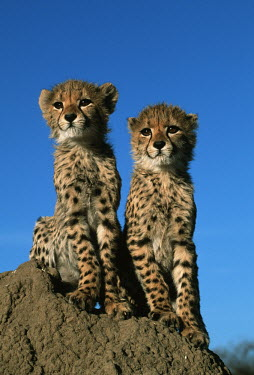 Three month old cheetah cubs sitiing on a termite mound - Africa family,Siblings,sibling,Cub,cubs,kitty,Kitten,kittens,Juvenile,immature,child,children,baby,infants,infant,young,babies,positive,Offspring,cute,Big cat,Cheetah,Acinonyx jubatus,Chordates,Chordata,Carn