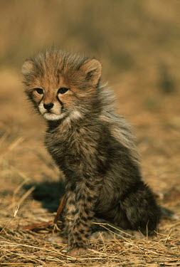 Six week old cheetah cub portrait - Africa cute,coat,furry,pelt,Fur,furs,kitty,Kitten,kittens,positive,Cub,cubs,Juvenile,immature,child,children,baby,infants,infant,young,babies,Big cat,Cheetah,Acinonyx jubatus,Chordates,Chordata,Carnivores,Ca