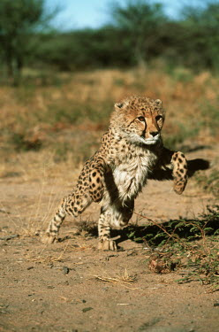 Cheetah cub launching into a sprint - Africa Cub,cubs,run,Running,sprint,sprinting,Juvenile,immature,child,children,baby,infants,infant,young,babies,action,movement,move,Moving,in action,in motion,motion,kitty,Kitten,kittens,coat,furry,pelt,Fur,