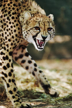 Cheetah snarling - Namibia, Africa patterns,patterned,Pattern,Angry,anger,angered,communication,Communicating,Vocalisation,speaking,vocalization,talking,vocalising,auditory,guarded,guard,danger,Defensive,defense,protecting,guarding,def