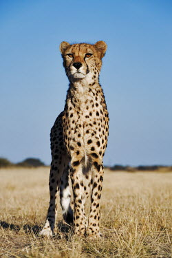 Cheetah standing portrait - Namibia, Africa Grassland,patterns,patterned,Pattern,spotty,spot,Spots,spotted,environment,ecosystem,Habitat,savannahs,savana,savannas,shrubland,savannah,Savanna,Terrestrial,ground,Plains,plain,coloration,Colouration
