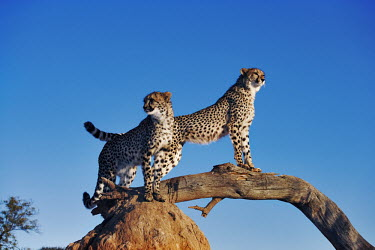 Pair of cheetahs using termite mound and branch as a vantage point - Africa Plains,plain,savannahs,savana,savannas,shrubland,savannah,Savanna,Sky,Semi-desert,Terrestrial,ground,blue skies,sunny,Blue sky,bright,Siblings,sibling,environment,ecosystem,Habitat,arid,drought,waterl