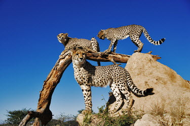 Group of cheetahs using termite mound and branch as a vantage point - Africa Juvenile,immature,child,children,baby,infants,infant,young,babies,savannahs,savana,savannas,shrubland,savannah,Savanna,environment,ecosystem,Habitat,Grassland,arid,drought,waterless,no water,dried up,