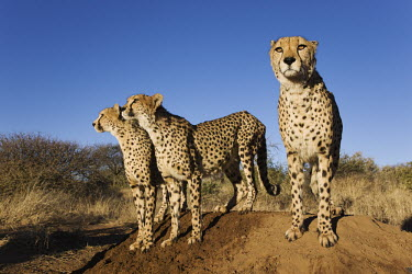Cheetahs using termite mound as a vantage point - Africa Siblings,sibling,environment,ecosystem,Habitat,Terrestrial,ground,Grassland,Plains,plain,Offspring,children,young,babies,Xeric,Desert,Semi-desert,blue skies,sunny,Blue sky,bright,Sky,Juvenile,immature