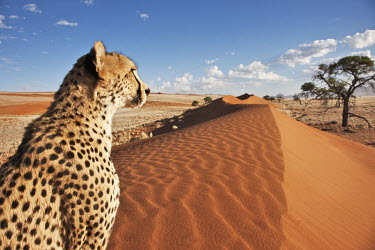 Cheetah sitting on sanddune in a desert landscape - Namibia, Africa environment,ecosystem,Habitat,patterns,patterned,Pattern,dry,Arid,Grassland,Sand storm,sand dunes,dunes,Sand dune,dune,spotty,spot,Spots,spotted,Terrestrial,ground,Plains,plain,Xeric,Desert,Storm,stor