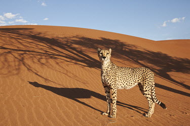 Cheetah standing in a desert landscape - Namibia, Africa coloration,Colouration,sand dunes,dunes,Sand dune,dune,Sand storm,patterns,patterned,Pattern,Xeric,Desert,Terrestrial,ground,spotty,spot,Spots,spotted,environment,ecosystem,Habitat,Storm,stormy,storms