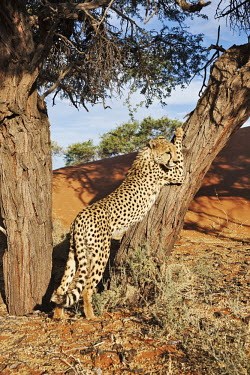 Cheetah leaning against a tree in a desert landscape - Namibia, Africa spotty,spot,Spots,spotted,Plains,plain,Xeric,Desert,Storm,stormy,storms,branch,Tree,bark,branches,Terrestrial,ground,dry,Arid,Sand storm,environment,ecosystem,Habitat,sand dunes,dunes,Sand dune,dune,p