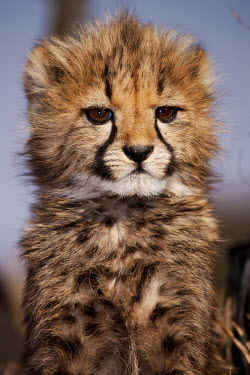 Young cheetah cub portrait - Namibia, Africa kitty,Kitten,kittens,Cub,cubs,Juvenile,immature,child,children,baby,infants,infant,young,babies,cute,patterns,patterned,Pattern,spotty,spot,Spots,spotted,coloration,Colouration,Portrait,face picture,f