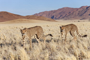 Pair of cheetahs walking through desert habitat - Namibia, Africa Grassland,Sand storm,environment,ecosystem,Habitat,Xeric,Desert,sand dunes,dunes,Sand dune,dune,spotty,spot,Spots,spotted,patterns,patterned,Pattern,coloration,Colouration,Terrestrial,ground,Storm,sto