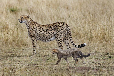 Cheetah mother with cub in grassland - Kenya, Africa Grassland,Cub,cubs,Terrestrial,ground,environment,ecosystem,Habitat,parenthood,parent,mom,Mother,motherhood,mommy,parental,mum,mummy,cute,family,Portrait,face picture,face shot,spotty,spot,Spots,spott