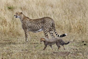 Cheetah mother with cub in grassland - Kenya, Africa Grassland,Cub,cubs,Terrestrial,ground,environment,ecosystem,Habitat,parenthood,parent,mom,Mother,motherhood,mommy,parental,mum,mummy,cute,family,Portrait,face picture,face shot,spotty,spot,Spots,spott