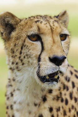 Female cheetah head portrait - Namibia, Africa patterns,patterned,Pattern,Portrait,face picture,face shot,blur,selective focus,blurry,depth of field,Shallow focus,blurred,soft focus,coloration,Colouration,Facial portrait,face,spotty,spot,Spots,spo