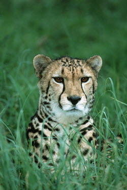 King cheetah, subspecies, head portrait - South Africa Grass,coloration,Colouration,coat,furry,pelt,Fur,furs,Portrait,face picture,face shot,Terrestrial,ground,Facial portrait,face,patterns,patterned,Pattern,spotty,spot,Spots,spotted,Grassland,hidden,cryp