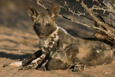 African wild dog pups lying in the sun - Sub-Saharan Africa Basking,sunbathing,bask,sunbathe,Portrait,face picture,face shot,resting,rested,rest,African Wild Dog,Lycaon pictus,Carnivores,Carnivora,Mammalia,Mammals,Chordates,Chordata,Dog, Coyote, Wolf, Fox,Cani