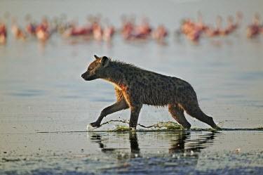 Spotted hyaena hunting flamingo - Kenya, Africa predation,hunt,hunter,stalking,Hunting,stalker,hungry,stalk,hunger,Carnivorous,Carnivore,carnivores,Lake,lakes,Spotted hyaena,Crocuta crocuta,Chordates,Chordata,Hyaenidae,Hyenas, Aardwolves,Carnivores