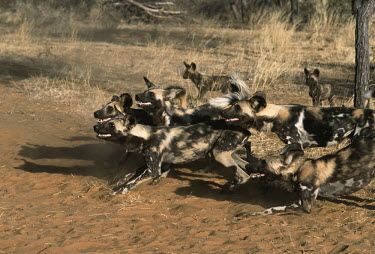 African wild dogs showing aggressive behaviour - Sub-Saharan Africa Terrestrial,ground,Angry,anger,angered,Vocalisation,speaking,vocalization,talking,vocalising,auditory,Aggression,Aggressive,Grassland,snarl,Growl,snarling,growling,fierce,scary,negative,sad,gathering,