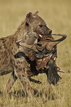 Spotted hyaena carrying remains of wildebeest kill - Kenya, Africa food,feed,hungry,eat,hunger,Feeding,eating,bloody,Blood,Carnivorous,Carnivore,carnivores,Spotted hyaena,Crocuta crocuta,Chordates,Chordata,Hyaenidae,Hyenas, Aardwolves,Carnivores,Carnivora,Mammalia,Ma