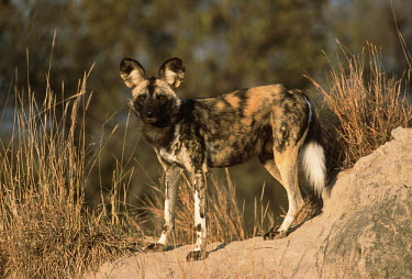 African wild dog standing on a termite mound - Sub-Saharan Africa Brown,beige,Black,patterns,patterned,Pattern,ear,Ears,markings,marking,coloration,Colouration,colours,color,colors,Colour,Multi-coloured,multicoloured,multi-colored,colorful,multicolored,colourful,Por