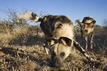 African wild dogs sniffing the ground - Sub-Saharan Africa predation,hunt,hunter,stalking,Hunting,stalker,hungry,stalk,hunger,African Wild Dog,Lycaon pictus,Carnivores,Carnivora,Mammalia,Mammals,Chordates,Chordata,Dog, Coyote, Wolf, Fox,Canidae,painted huntin