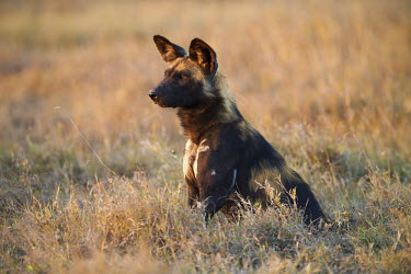African wild dog sitting in grassland - Kenya, Africa Terrestrial,ground,environment,ecosystem,Habitat,savannahs,savana,savannas,shrubland,savannah,Savanna,blur,selective focus,blurry,depth of field,Shallow focus,blurred,soft focus,Portrait,face picture,