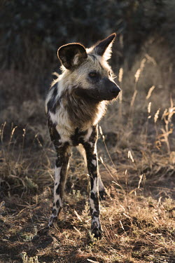African wild dog standing in the sun - Sub-Saharan Africa Portrait,face picture,face shot,African Wild Dog,Lycaon pictus,Carnivores,Carnivora,Mammalia,Mammals,Chordates,Chordata,Dog, Coyote, Wolf, Fox,Canidae,painted hunting dog,Cape hunting dog,Lycaon,Licao