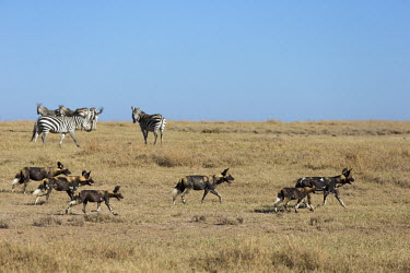 Small pack of African wild dogs in grassland - Kenya, Africa Grassland,Terrestrial,ground,environment,ecosystem,Habitat,predation,hunt,hunter,stalking,Hunting,stalker,hungry,stalk,hunger,gathering,Group,many,collection,assemble,numerous,grouping,collective,gath