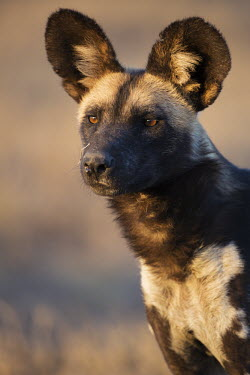 Potrait of African wild dog - Kenya, Africa Portrait,face picture,face shot,Terrestrial,ground,ear,Ears,face,savannahs,savana,savannas,shrubland,savannah,Savanna,blur,selective focus,blurry,depth of field,Shallow focus,blurred,soft focus,enviro