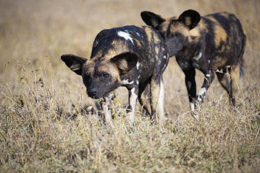 A pair of African wild dogs stalking prey - Kenya, Africa environment,ecosystem,Habitat,Grassland,Terrestrial,ground,predation,hunt,hunter,stalking,Hunting,stalker,hungry,stalk,hunger,African Wild Dog,Lycaon pictus,Carnivores,Carnivora,Mammalia,Mammals,Chord
