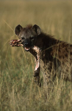 Spotted hyaena with wildebeest leg bone - Sub-Saharan Africa Carnivorous,Carnivore,carnivores,food,feed,hungry,eat,hunger,Feeding,eating,leg,Spotted hyaena,Crocuta crocuta,Chordates,Chordata,Hyaenidae,Hyenas, Aardwolves,Carnivores,Carnivora,Mammalia,Mammals,lau
