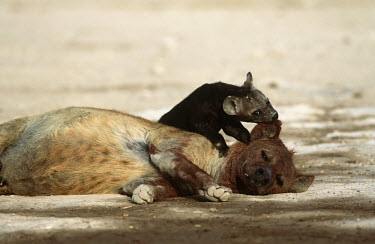 Spotted hyaena adult with cubs - Kenya, Africa Juvenile,immature,child,children,baby,infants,infant,young,babies,Cub,cubs,Affection,affectionate,puppy,puppys,puppies,pups,Pup,parenthood,parent,mom,Mother,motherhood,mommy,parental,mum,mummy,family,