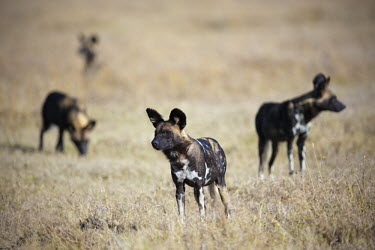Small pack of African wild dogs in grassland - Kenya, Africa predation,hunt,hunter,stalking,Hunting,stalker,hungry,stalk,hunger,environment,ecosystem,Habitat,Terrestrial,ground,Grassland,gathering,Group,many,collection,assemble,numerous,grouping,collective,gath