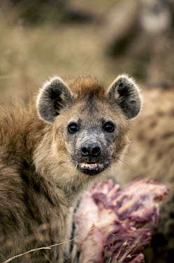 Spotted hyaena at zebra kill - Kenya, Africa predation,hunt,hunter,stalking,Hunting,stalker,hungry,stalk,hunger,food,feed,eat,Feeding,eating,Carnivorous,Carnivore,carnivores,bloody,Blood,Killing,prey,preyed,killed,kill,Spotted hyaena,Crocuta cro