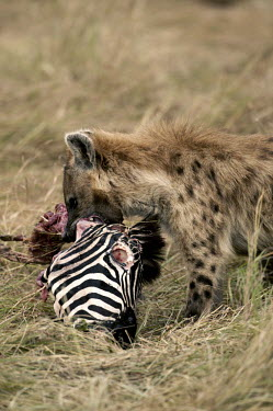 Spotted hyaena at zebra kill - Kenya, Africa environment,ecosystem,Habitat,Grassland,savannahs,savana,savannas,shrubland,savannah,Savanna,food,feed,hungry,eat,hunger,Feeding,eating,Terrestrial,ground,bloody,Blood,predation,hunt,hunter,stalking,H