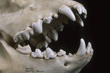 Spotted hyaena skull showing carnassial teeth - Sub-Saharan Africa Mouth,mouthpart,mouths,mouthparts,incisors,Incisor,head,Skull,cranium,Teeth,tooth,Carnivorous,Carnivore,carnivores,face,canine teeth,Canine tooth,bone,bones,skeletal,Skeleton,Spotted hyaena,Crocuta cr