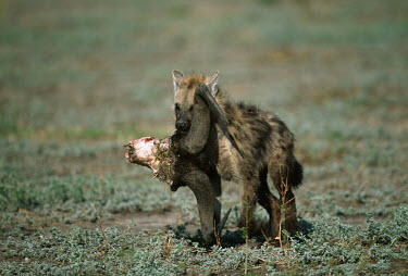Spotted hyaena young carrying wildebeest horns - Botswana, Africa Carnivorous,Carnivore,carnivores,Horn,horns,food,feed,hungry,eat,hunger,Feeding,eating,forage,gleaning,glean,Foraging,Spotted hyaena,Crocuta crocuta,Chordates,Chordata,Hyaenidae,Hyenas, Aardwolves,Car
