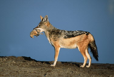 Black-backed jackal with a recently caught sandgrouse in its mouth - Namibia, Africa food,feed,hungry,eat,hunger,Feeding,eating,predation,hunt,hunter,stalking,Hunting,stalker,stalk,Black-backed jackal,Canis mesomelas,Carnivores,Carnivora,Mammalia,Mammals,Dog, Coyote, Wolf, Fox,Canidae