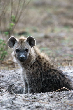 Spotted hyaena cub at den site - Okovango Delta, Botswana, Africa Portrait,face picture,face shot,blur,selective focus,blurry,depth of field,Shallow focus,blurred,soft focus,Spotted hyaena,Crocuta crocuta,Chordates,Chordata,Hyaenidae,Hyenas, Aardwolves,Carnivores,Ca
