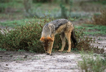 Black-backed jackal investigating dung beetles - Botswana, Africa interested,Curious,inquisitive,Black-backed jackal,Canis mesomelas,Carnivores,Carnivora,Mammalia,Mammals,Dog, Coyote, Wolf, Fox,Canidae,Chordates,Chordata,silver-backed jackal,Semi-desert,Forest,Terre