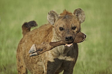 Spotted hyaena carrying remains of wildebeest kill - Kenya, Africa Carnivorous,Carnivore,carnivores,leg,Portrait,face picture,face shot,food,feed,hungry,eat,hunger,Feeding,eating,Spotted hyaena,Crocuta crocuta,Chordates,Chordata,Hyaenidae,Hyenas, Aardwolves,Carnivore