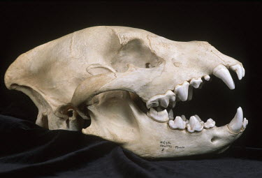Spotted hyaena skull showing carnassial teeth - Sub-Saharan Africa Teeth,tooth,bone,bones,skeletal,Skeleton,canine teeth,Canine tooth,Carnivorous,Carnivore,carnivores,face,Mouth,mouthpart,mouths,mouthparts,head,Skull,cranium,incisors,Incisor,Spotted hyaena,Crocuta cr