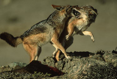 Black-backed jackal fighting over food - Namibia, Africa negative,sad,fight,Fighting,aggression,aggressive,guarded,guard,danger,Defensive,defense,protecting,guarding,defence,protective,warn,warning,protect,warns,action,movement,move,Moving,in action,in moti