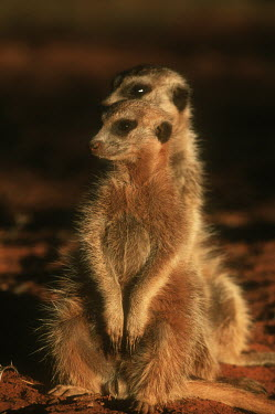 Two meerkats warm up in the early morning sun of winter - Kalahari Desert, Africa family,aware,on-edge,on edge,cautious,Alert,Basking,sunbathing,bask,sunbathe,resting,rested,rest,Meerkat,Suricata suricatta,Herpestidae,Mongooses, Meerkat,Carnivores,Carnivora,Mammalia,Mammals,Chordat