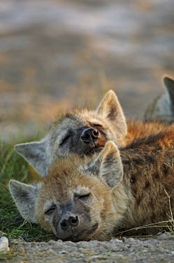 Young spotted hyaena pups sleeping at den site - Kenya, Africa incubation,broods,broody,incubating,Brood,incubate,brooding,Offspring,children,young,babies,Siblings,sibling,Juvenile,immature,child,baby,infants,infant,Portrait,face picture,face shot,sleep,tired,exh